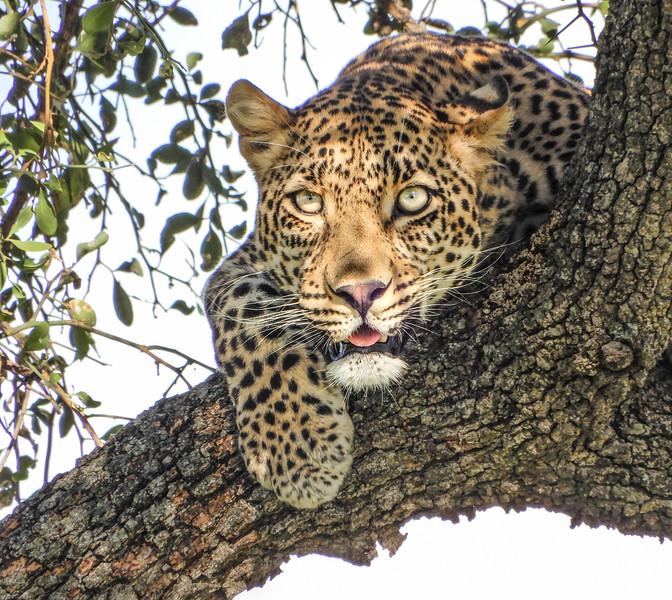 Cats in trees, but I don't think we will get a fireman to get this big kitty down. Leopard love to hang out in trees during the heat of the day. We photographed this leaopard just before sunset so he was awake and ready to start hunting for his supper. I love the eyes on this cat, so intense and directly looking at me.