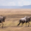 Wildebeest in action.
