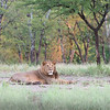 Lions, we saw lots and lots of lions on our trip. But just like our domestic cats at home we found them sleeping most of the time. Lying under the shade of a tree or in a tree seemed to be where we would spot them. Here a lion was resting just at daybreak, in an open field. I like the majestic look of this fellow. The background has that golden glow of the first light of day to add some color and interest to this image.