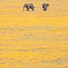 Brillant yellow biden flowers were in bloom in the Ngorongoro crater in Tanzania. These two elephants seemed to be enjoying the spring bloom as they strolled across the open plain. Perhaps they were picking flowers? Another in my series of framing the wildlife of Africa within their habitat.