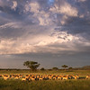 Sunset in the Serengeti was wonderous. Most nights we would get clouds to add some punch to a scene. In this image a group of female impalas, called a harem, is watched over by one singular male. There is only one male per harem in the wild. Taking a count I discovered over 50 females in this harem. That is one busy boy to keep all those gals happy!