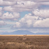 "We found this Thompson Gazelle standing on top of a mound, rather like playing ""King of the Hill"". I composed this image placing the gazelle in the vastness of this setting, with white puffy clouds above."