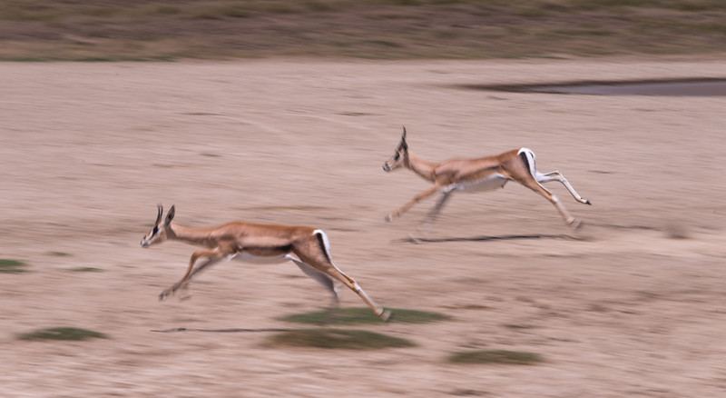 Impalas on the run.