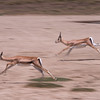Impalas on the run.
