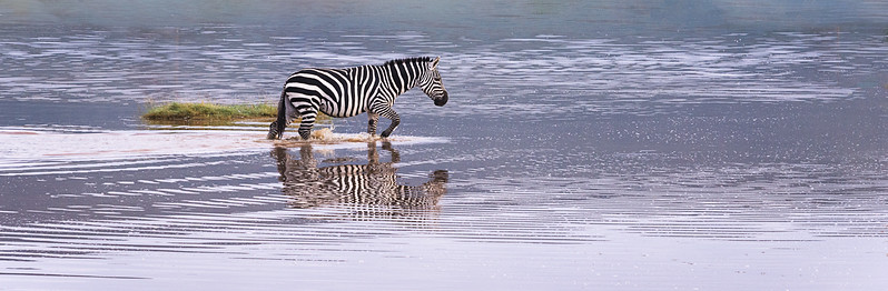 This lone zebra makes its way across a shallow pond as a thin cloud layer helps to produce soft shadows across the Ngorongoro Crater in Tanzania. I love the reflections and just a slight hint of back light to this image. The ripples in the cool toned water makes for an interesting contrast.