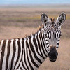 Here's looking at you kid. It is not everyday that you get a zebra staring you down. What a great time with had in Tanzania, the wildlife, the landscape, the fauna, and most of all the people were all over the top.