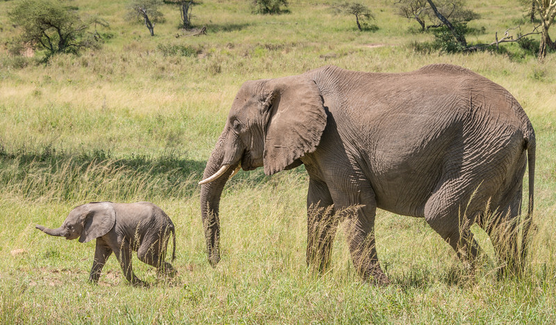 A Mom and her baby out for a stroll...We saw lots of newborn animals on our trip to Tanzania. They always look cute with their big eyes and oversized feet.