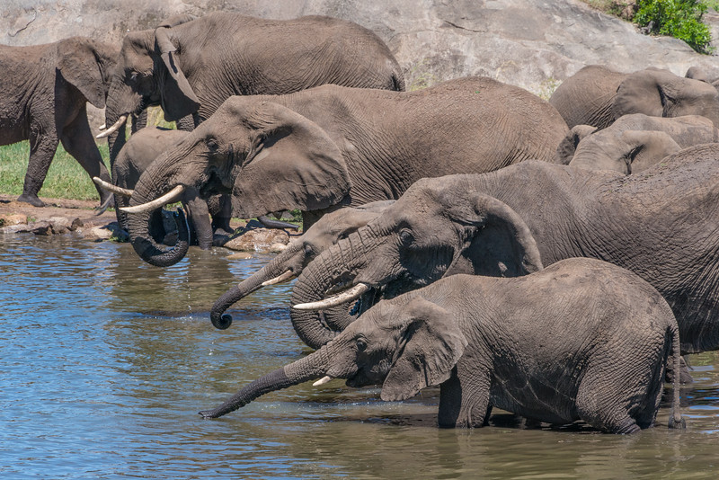 """Everyone needs a cool drink on a hot day. Here a whole family of elephants grab a sip of water on a hot day in Tanzania. Here back at home it hit 104 yesterday. This is another of my """"view from a room"""" series. There were over 2 dozen elephants in this group."""