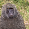 Baboon stare down.