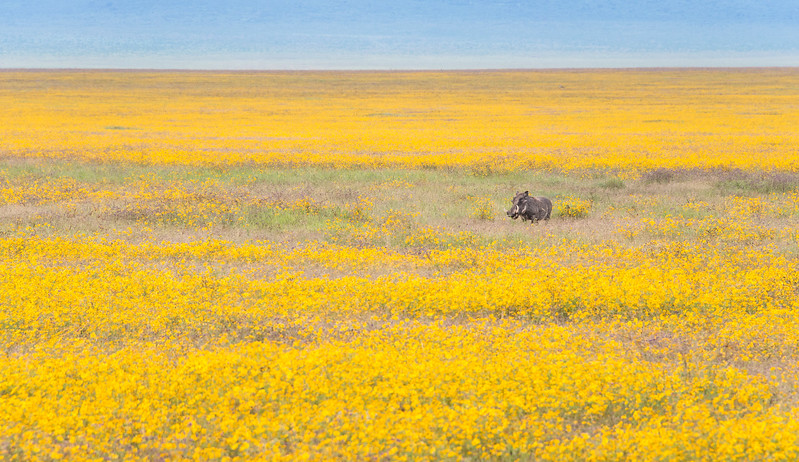 Pumbaa roaming through the yellow biden flowers in the Ngorongoro Crater. The Disney movie Lion King has it's roots in Africa. The movie is well known, so now even the locals call the warthog, Pumbaa! Once again I am back to my landscape mode, placing an animal in it's habitat.