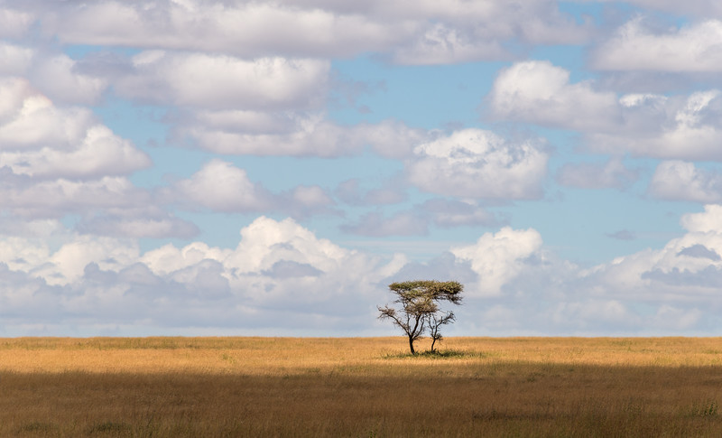 Back to my Landscape roots as a photographer. I love the simple composition of this image, a lone tree on a grassy knoll with puffy clouds in a light blue sky. Just a calm and peaceful scene from the vast savanna of the Serengeti plains.