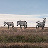 I was fascinated by the zebras in Africa. Just something about their contrasting black and white stripes that appealed to me. I spotted this group of zebras on a small rise in the Ngorongoro Crater, so I positioned myself low to place the tall grasses in the foreground and the cloud layer directly behind them.