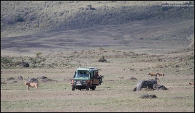 Film Crew on a lion kill with hyenas & jackals looking for scraps, Ngorongoro Crater, Ngorongoro Conservation Area, Tanzania, November 2019