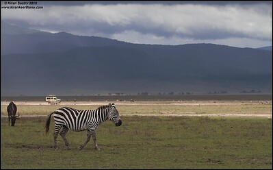 Safari Zeep in the background of Zebra, & Wildebeest, Ngorongoro Crater, Ngorongoro Conservation Area, Tanzania, November 2019