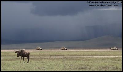 Wildebeest and safari jeeps with rain backdrop, Ngorongoro Crater, Ngorongoro Conservation Area, Tanzania, November 2019