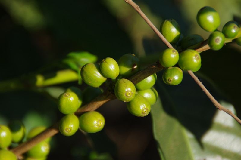 Coffee plantations (Tschibo) at Weru Weru town