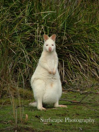 Albino Kangaroo, Bruny Island, Tasmania
