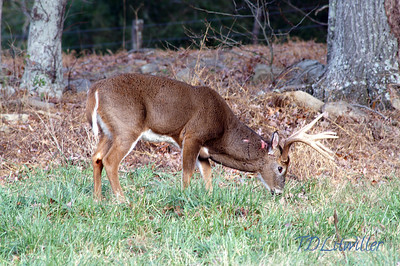 Big buck with fresh Scars,  Cades Cove Smokey mountains National park.