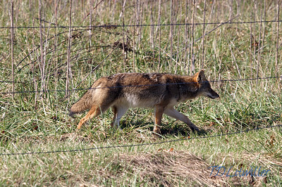Coyote, Cades Cove Smokey mountains  National Park, TN