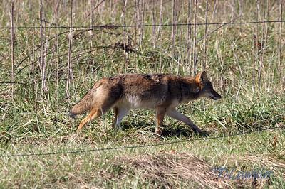 Coyote, Cades Cove Smokey mountains  National Park, TN