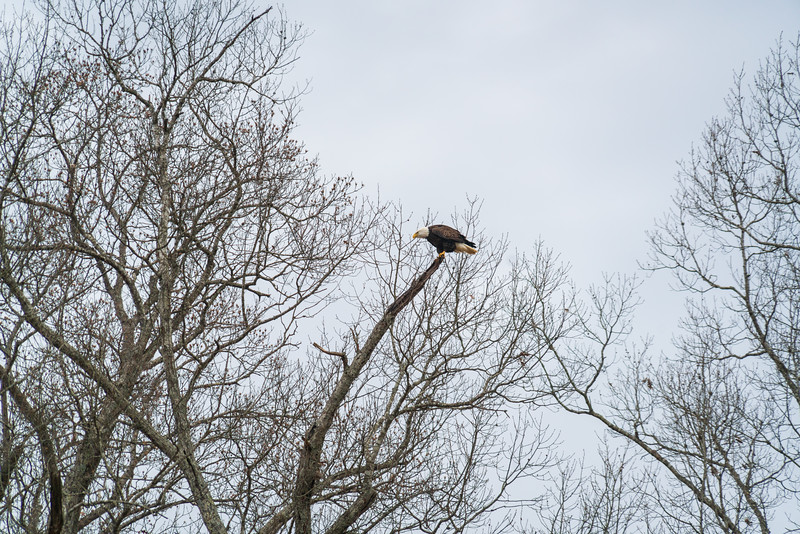 Eagle Perching High in an Autumn Tree