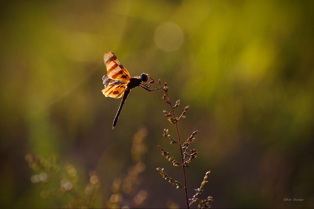 Holloween Pennant Male Dragon Fly