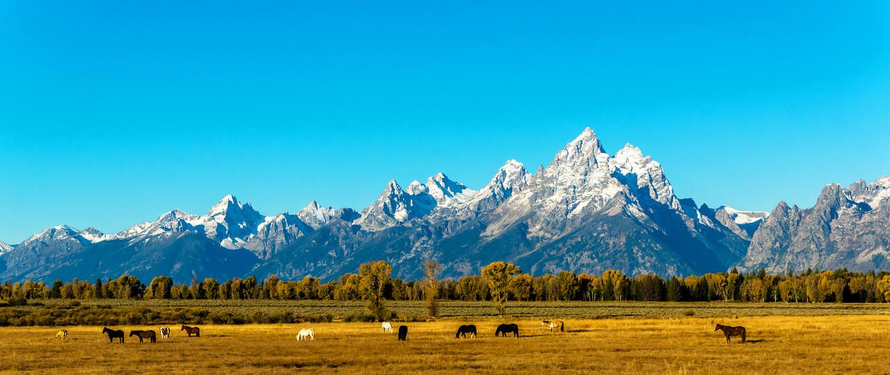 Horses grazing in the Teton National Park