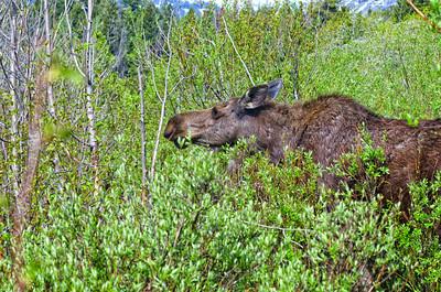 Moose in thicket eating berries