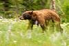 tetons bear-5934