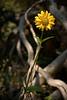 tetons flower-5878