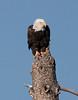 Bald Eagle in Yellowstone