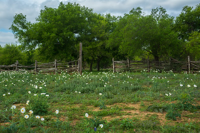 Texas Prickly Poppy and Fence.
