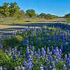 Bluebonnets in the Texas Hill Country.