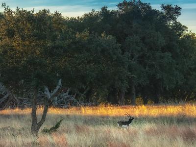 Good Morning Blackbuck