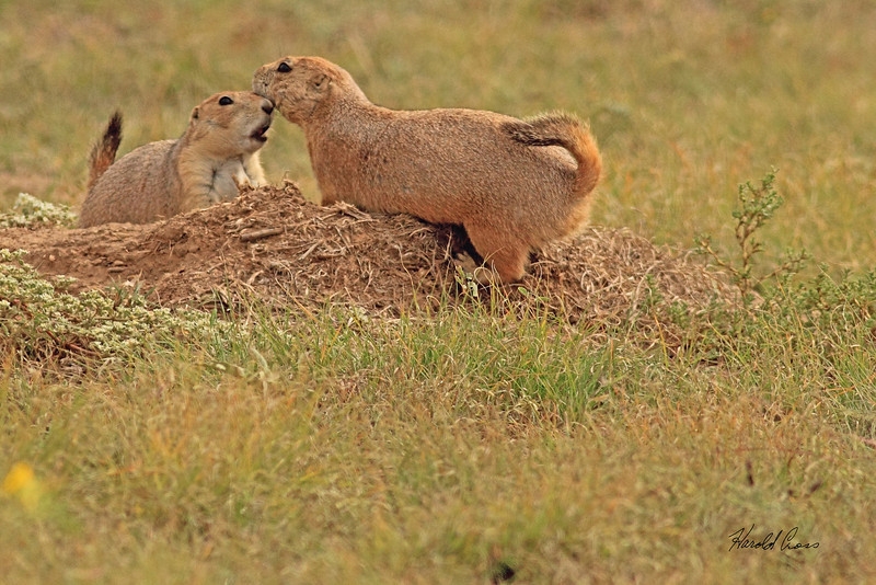 Prairie Dogs taken Oct. 2, 2010 near Muleshoe,  TX.