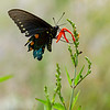 Pipevine Swallowtail, Garner State Park