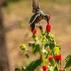 Ruby Throated Hummingbird, Garner State Park