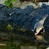 Black-crested Titmouse, Garner State Park