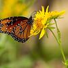 Queen Butterfly, Garner State Park
