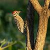 Ladderback Woodpecker, Garner State Park