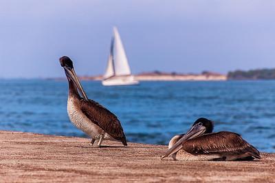 Pelicans, Texas Gulf Coast