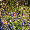 Texas Bluebonnet & Indian Paintbrush