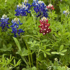 Indian Paintbrush and Bluebonnet