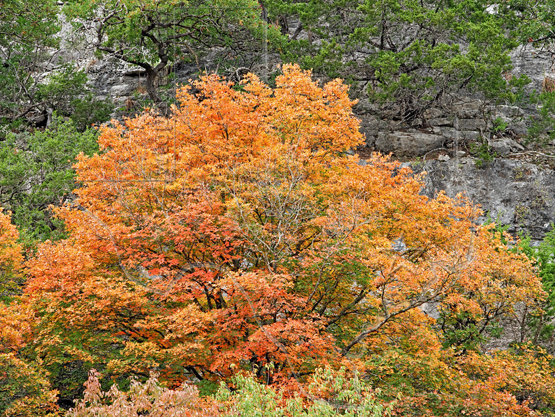 Fall Foliage Color,<br /> Lost Maples State Park,<br /> near Vanderpool, Texas