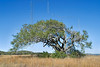 Wind-swept Live Oak,<br /> Aransas National Wildlife Refuge, Texas