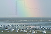 Shore Birds and Rainbow,<br /> East Beach, Galveston, Texas