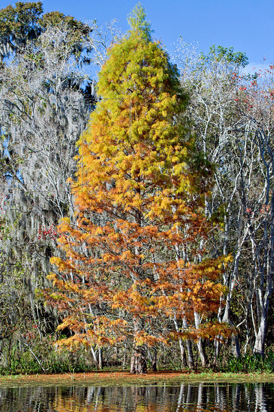 Bald Cypress, Fall Color.<br /> Brazos Bend State Park, Texas
