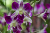 Purple Flowers - Chaweng Beach, Koh Samui, Thailand