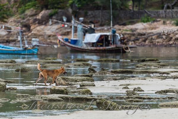 Dog and Fishing Boats - Chaweng Beach, Koh Samui, Thailand