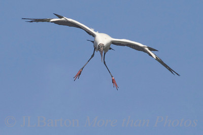 Wood Stork, flaps half, landing gear down, 10 degrees left